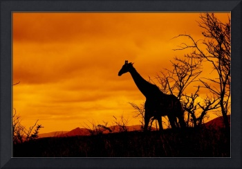 Giraffe in South African Landscape