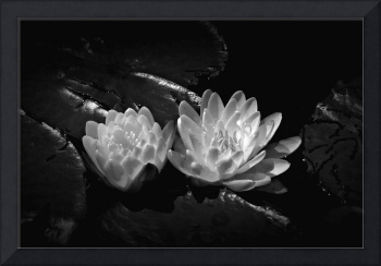 Two Water Lilies In Black and White