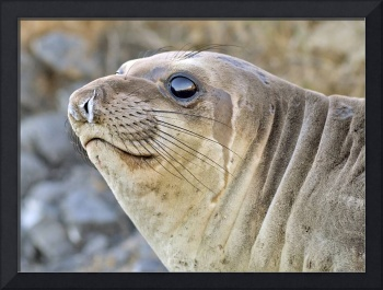Young female Elephant Seal profile