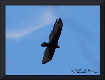 Turkey Vulture 20120319_171b