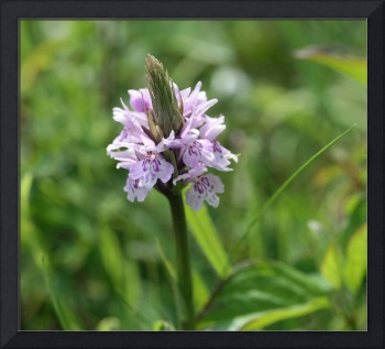 Common Spotted Orchid 30