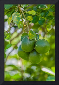 large ripe green limes