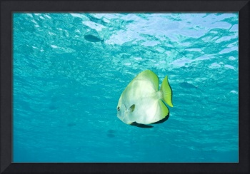 Batfish In Water