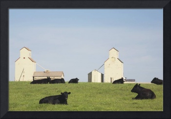 Moseleigh, Alberta, Canada Cattle In A Field With