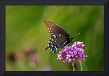 Butterfly  Pipevine Swallowtail in summer