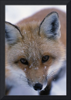 Portrait Of Adult Red Fox