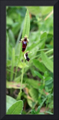 Fly orchid 12