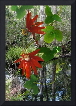 Red Passion Flower at Brooker Creek