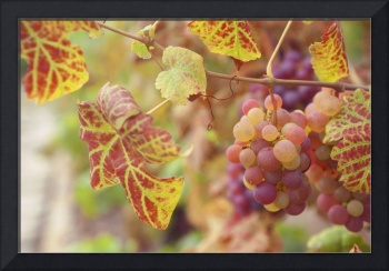Red Grapes Clusters 8