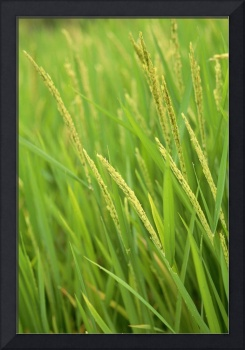 Indonesia, Bali, Close-Up Of Green Rice Plants