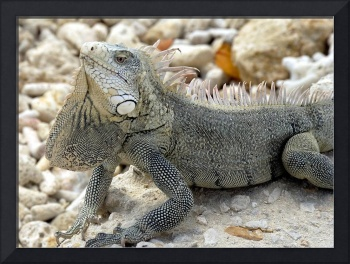 Stretched Neck Iguana