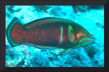 Beautiful Wrasse