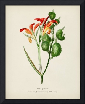 Anna speciosa illustrated by Charles Dessalines D'