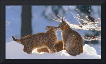 Eurasian Lynx Cats Kissing In the Snow in Germany