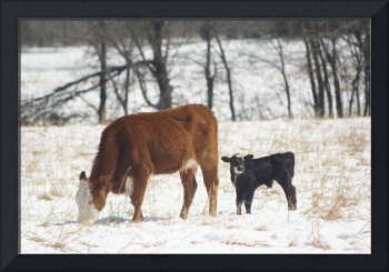 cow and calf in the snow