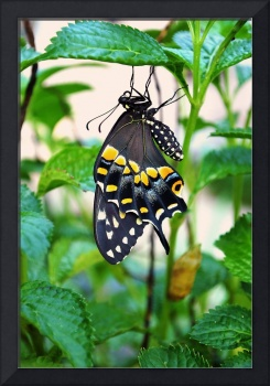 Butterfly just emerged