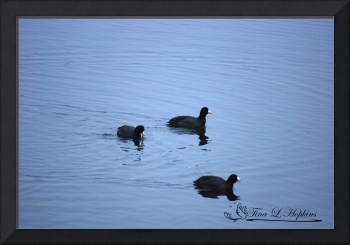 American Coots 20120316_39a