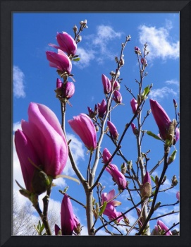 Botanical - Magnolia Tree Flower - Outdoors Floral