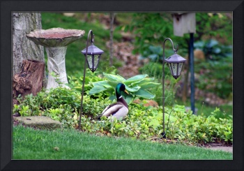 Mallard Duck Strolling through Garden
