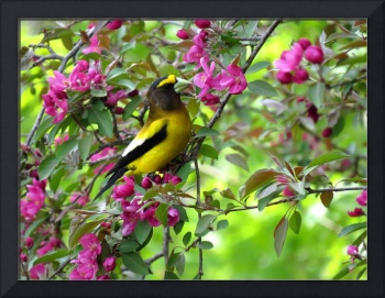 Evening Grosbeak in the Flowering Crabapple