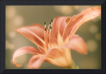 Day Lily Modern Feel