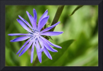 Single Purple Chicory Flower