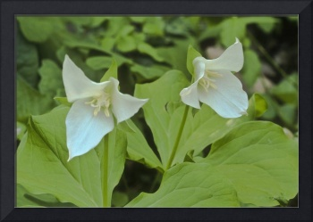 Large Flowered Trillium