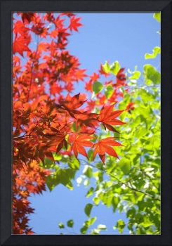 Maple Leaves (3)