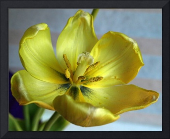 Easter Tulip Left Over