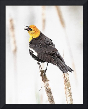 Ridgefield NWR_Yellow-headed Blackbird #2