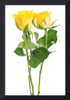 A bouquet of three yellow roses. isolated on white