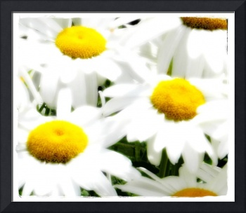 Daisies close up