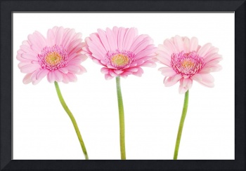 A bouquet of three pink gerbera flower. Isolated o