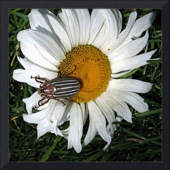 Striped beetle on a daisy