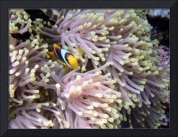 Anemone and clown fish