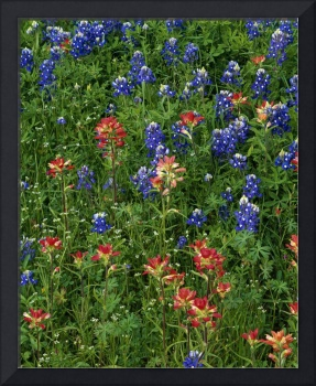 Texas bluebonnets and indian paintbrush flowers i