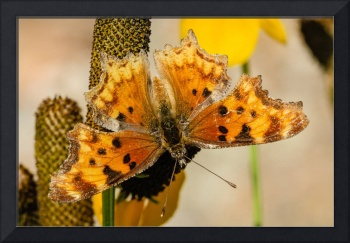 Hoary Comma Butterfly