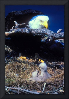 eagle with two eaglets