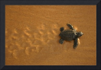 turtle hatchling with track