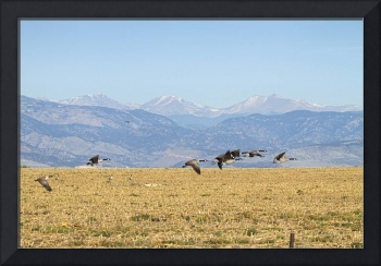 Flying Canadian Geese Rocky Mountains 2