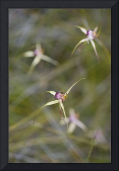 Swamp Spider Orchid Caladenia paludosa Abstract