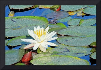 Summer Water Lily
