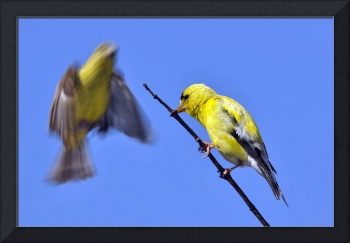 Two Goldfinch