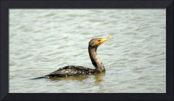cormorant swimming at bear river