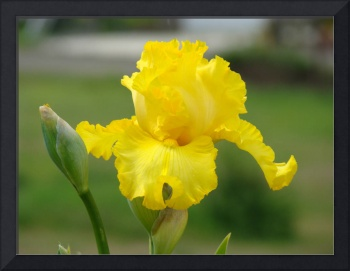 Yellow Iris Flower 2 Giclee Art Prints Golden Glow