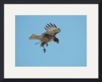 Hawk with mouse by David Smith