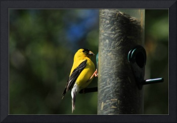 American Goldfinch Collecting Seeds