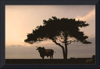Brahman Bull and Pine Tree
