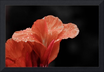 Red Gladiolus in the Rain