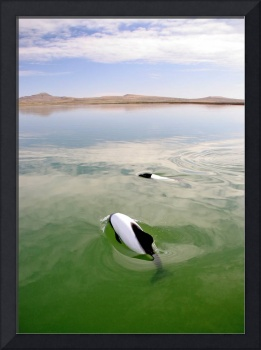 Commerson's Dolphins of Argentina